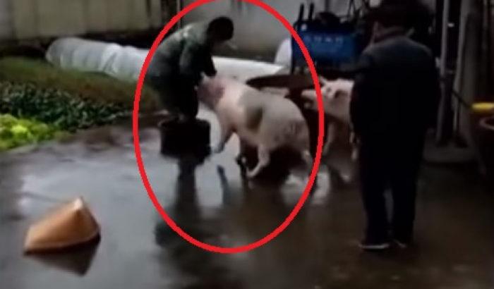 Свинья нападает на мясника, чтобы спасти товарища от смерти. /Кадры с youtube.com